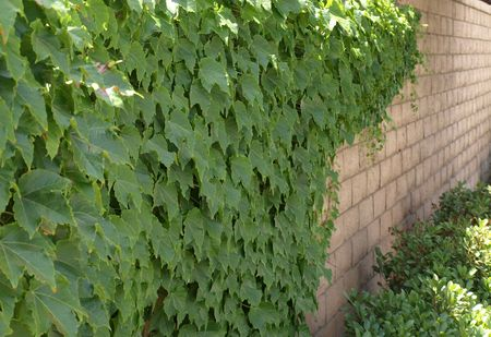 ivy wall: Ivy Wall