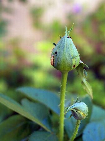 Bugs on Buds