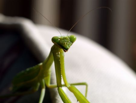 Praying Mantis closeup of Head only