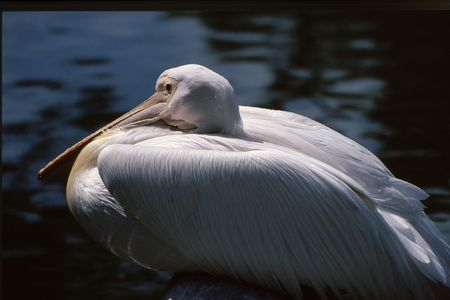 White Pelican huddled down with wings tucked in