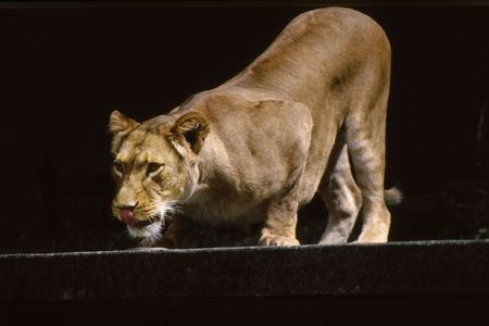 Lion ready to leap and lunge