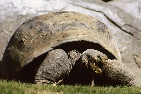 Large land tortise with mouth open