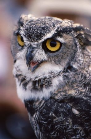 Owl with eyes open. gray and white coloring