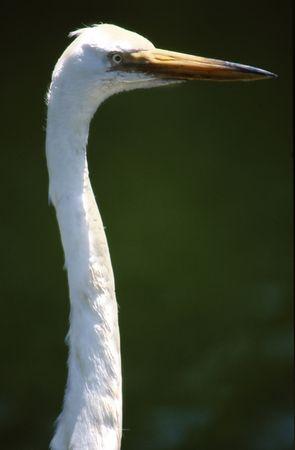 Long neck closeup of white crane Stock fotó
