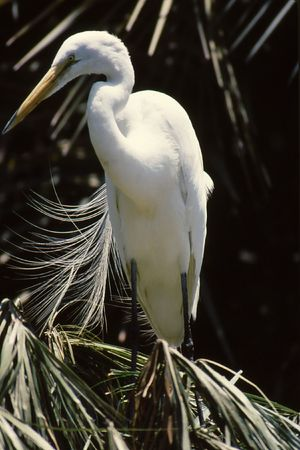 Snowy Egret perched on branch with feathers flowing in wind