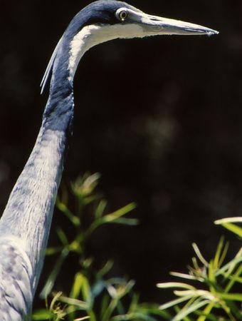 Closeup of long neck and head of crane