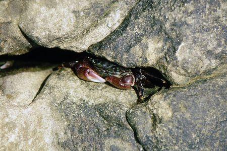 Colorful crabs hiding in rock crevices along shore Stock fotó