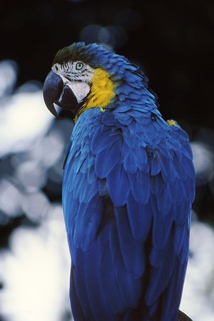 Beautiful Blue and gold Mccaw from back with head turned showing facial features