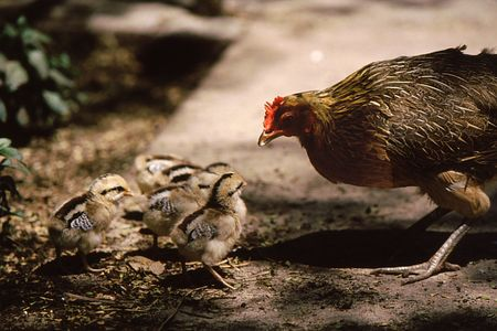 Chicken with  chicks appears to be telling chicks what to do Stock fotó