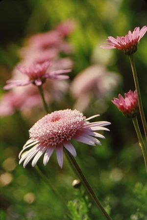 Pink daisy with dense and detailed center with pink daisy background