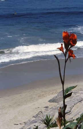 Beautiful canna lily growing on ocean cliff shows background of beach and ocean