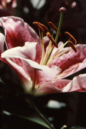 Closeup of flower stamen of beautiful lily Stock fotó
