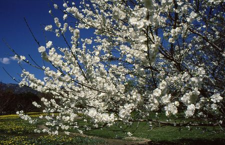 White blossoms of tree look upon beautiful field and mountains background