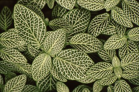 Dense leaves with brilliant detail in leaves creat a unique and interesting pattern Stock fotó