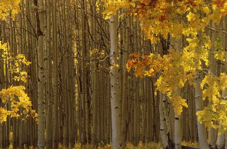 Fall aspen trees with beautiful fall colored leaves and white trunks