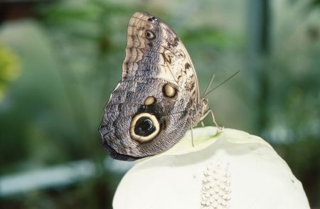 A Closed butterfly landed on a flower petal. closeup