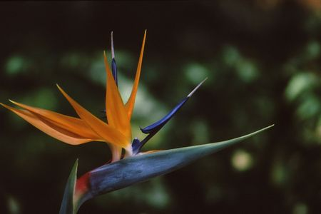 bloom bird of paradise: Bird of paradise at full bloom showing beautiful colors Stock Photo