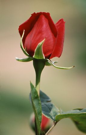 Sole red rose bud with beautiful shape and texture