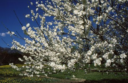Tree blooming white overlooking fields and mountain