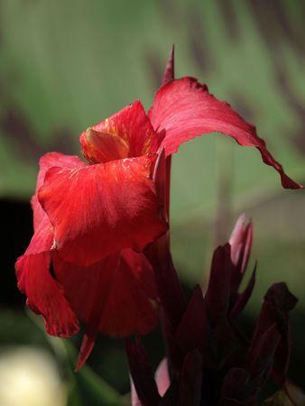 Canna Lily Closeup Stock fotó