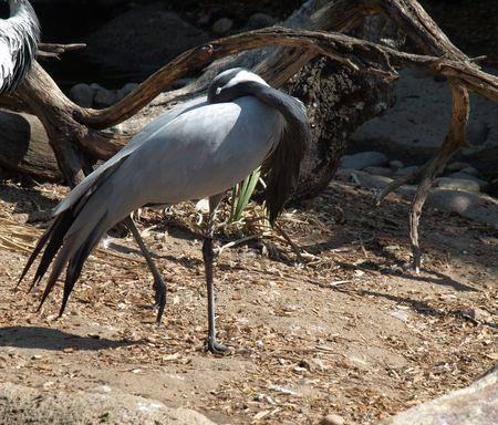 Large Gray and Black bird