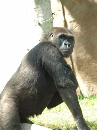 Gorilla looking into camera over shoulder