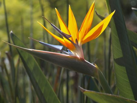 Paradijs vogel bloem volledig open met zonlicht shinning tot bloei