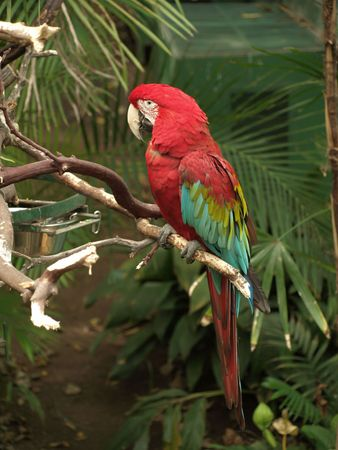 Beautiful red and green Macaw perched on branch