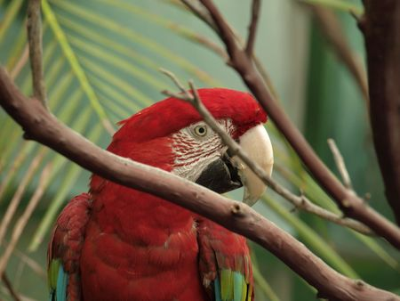 Macaw peeking through branches. good side view of face Stock fotó