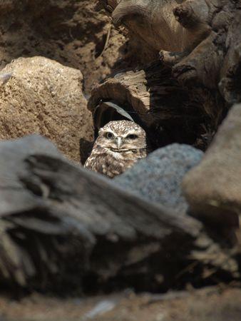 Owl hiding among rocks appears to be awake