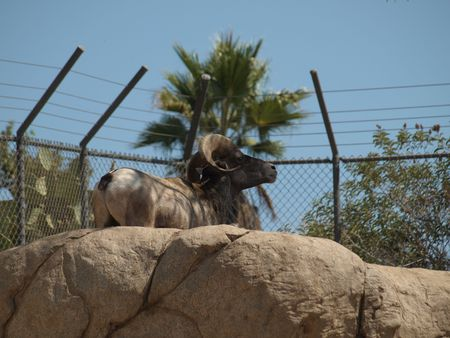 BigHorn Sheep seems to Contemplating Escape while near fenced of enclosure Stock fotó