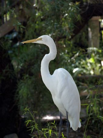 Snowy egret perched on fence contrasting against dark background