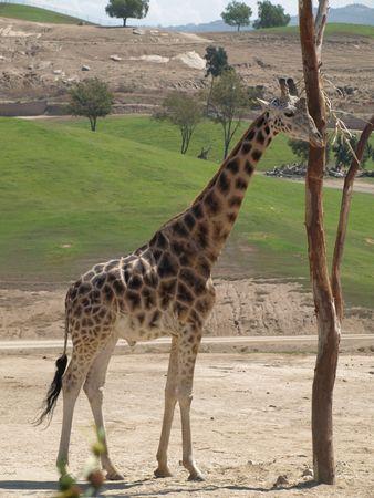 Giraffe at feeding tree in animal park. full view