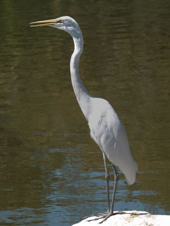 White egret on rock with beak partially open. Contrasting against pond water photo