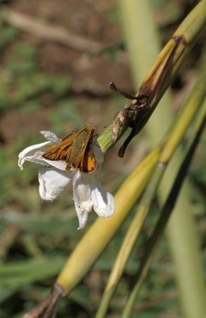 Orange moth on a white lily bloom