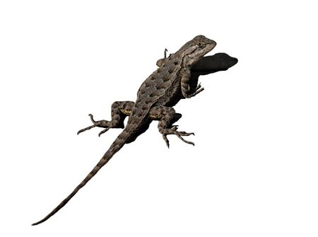 Spiny Lizard with shadow isolated on white  photo