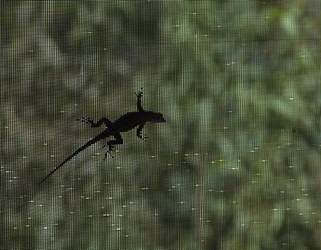 sihlouette of Lizard crawling across screen panel