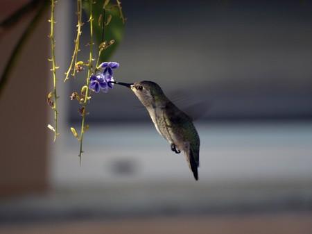 side view of hummingbird feeding in flowers Stock fotó