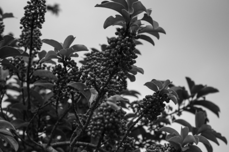 sorbus: Mountain Ash or Rowan Sorbus aucuparia in black and white Stock Photo