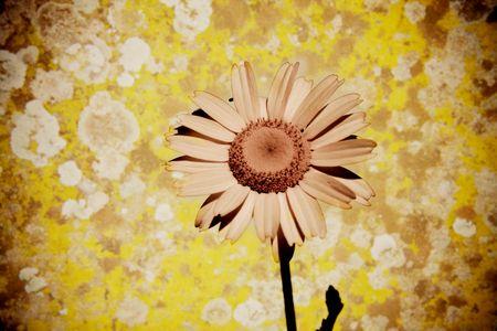 Tiny beautiful daisy isolated with old wall photo