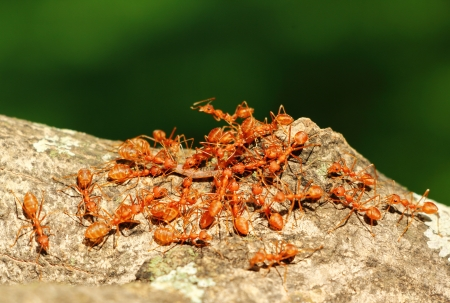 Group of ants as a team carrying their food home