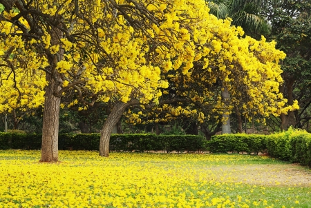 Beautiful shot of Tabebuia Argentea trees blossoming at the beginning of summer  Family  Bignoniaceae photo