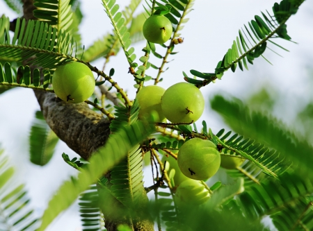 gooseberry: Indian gooseberry  Phyllanthus emblica , also called aamla in Hindi  Indian gooseberry is an essential ingredient of the traditional Indian Ayurvedic  herbal  medicines  Stock Photo