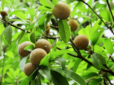 exceptionally: Ripening Sapodilla fruits in an organic garden  Other names - Zapota, Chikkoo  in India , Sapota  in India   Sapodilla is a tropical, evergreen tree fruit  berry  with exceptionally sweet and malty flavor