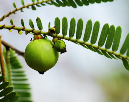 Indian gooseberry  Phyllanthus emblica , also called aamla in Hindi  Indian gooseberry is an essential ingredient of the traditional Indian Ayurvedic  herbal  medicines  Banco de Imagens