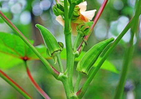 lady's: Tender, unripe ladys finger, okra in a kitchen garden. Family: Malvceae