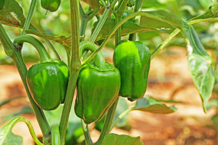 capsicum plant: Close up of Capsicum plant with ripening green fruits. Capsicum is also known as bell pepper, red pepper and green pepper.