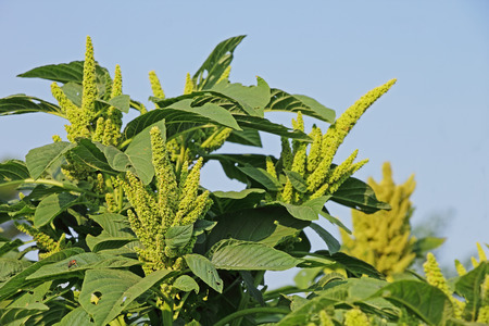 amaranthus: Amaranth is cultivated as leaf vegetables, cereals and ornamental plants. Genus is Amaranthus. Amaranth seeds are rich source of proteins and amino acids. Also known as thotakura in India
