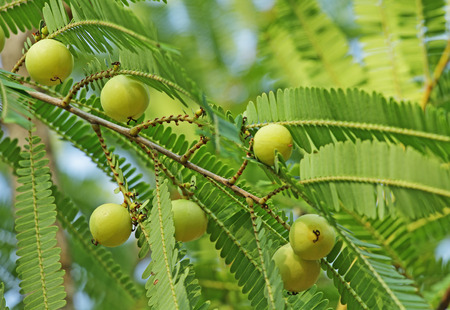 formulation: Indian gooseberry Phyllanthus emblica is also called aamla in Hindi. Indian gooseberry is an essential ingredient of the traditional Indian Ayurvedic herbal medicines. Stock Photo