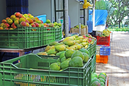 climatic: India with its wide ranging climatic zones produces a great variety of mangoes, with a broad range of taste, color, shape, texture, etc. April, May and June are the main season.